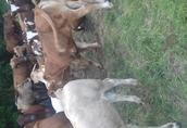 cieleta byczki,jałówki odzadki ,200-300kg transport 3