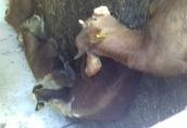 cieleta byczki,jałówki odzadki ,200-300kg transport 5