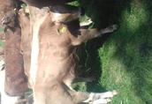 cieleta byczki,jałówki odzadki ,200-300kg transport 6