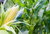 Kupię kukurydze