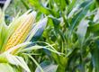 Kukurydza Kupie zboża konsumpcyjne i paszowe