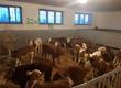 Cielaki i opasy Sprzedam byczki rasy simental i