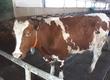 Krowy 2 krowy Polskie czerwono białe
