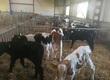 Cielaki i opasy Sprzedam cielęta byczki MM cena