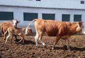 Sprzedam krowy mięsne cielne i krowy z cielętami