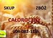Kukurydza Kupię zboża konwencjonalne i ekologiczne