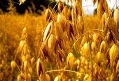 Owies Kupię zboża konwencjonalne i ekologiczne: żyto...