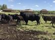 Pozostałe zwierzęta hodowlane sprzedam byka rasy angus 6 lat