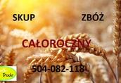 Pszenica Kupię zboża konwencjonalne i ekologiczne: żyto...