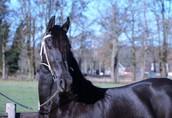 Na sprzedaż konie, klacz fryzyjska, 4 lata