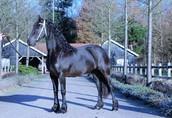 Na sprzedaż konie, klacz fryzyjska, 4 lata 1