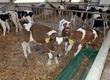 Cielaki i opasy Sprzedam byczki krzyżówki MM, NCB