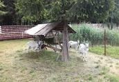 Sprzedam kozy 1