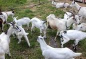 Sprzedam kozy 2
