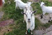 Sprzedam kozy 3