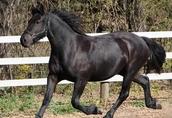 Piękna czarna klacz fryzyjska 1