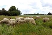Owce, jagnięta - likwidacja hodowli