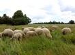 Jagnięta Sprzedam stado owiec w sumie 34