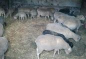 Owce, jagnięta - likwidacja hodowli 1