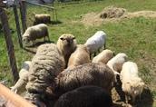 Owce Witam serdecznie mam do zaoferowania owce oraz baranki...