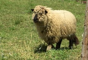 Barany Owce Jagnięta  1