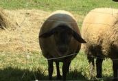 Barany Owce Jagnięta  2