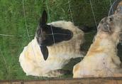 Poza klasyfikacją Witam szukam stałego odbiorcy owiec ubojowych chodowlanych...