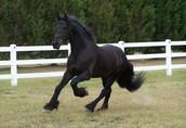 Czarna piękna fryzyjska klacz, koń na sprzedaż 3