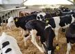 Cielaki i opasy Sprzedam byczki krzyżówki MM NCB