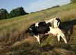 Krowy krowa mleczna po jednym ocieleniu