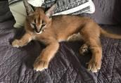 Serval i Savannah caracal i ocelot kittens