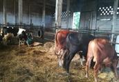 Byczki opasy krzyżówki ras miesnych simental angus hereford  2