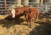 Byki i jałówki mięsne 150-250 kg Charolaise, Limousine krajowe  2