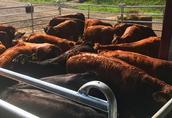 Byki i jałówki mięsne 150-250 kg Charolaise, Limousine krajowe  3