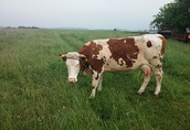 krowa 3 letnia czerwona mleczna