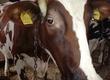 Krowy Sprzedam krowy cielne w wieku od