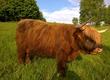 Byki na ubój 10 sztuk byków rasy Highland