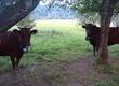 Krowy Mam do sprzedania 5 lub 6 krów