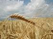 Pszenica BHZ Agromat kupi zboza ekologiczne