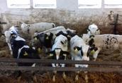 Cielaki i opasy Posiadam w ciągłej sprzedaży byczki rasy mięsnej...