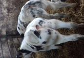 byczki mięsne cielaki rasy bbb  1