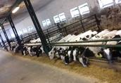 byczki mięsne cielaki rasy bbb  3