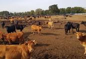 krowy mięsne