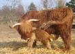 Krowy Bydło szkockie wyżynne highland