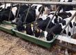 Cielaki i opasy Sprzedam cielęta byczki i jałówki