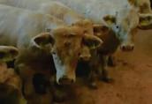 Cielaki i opasy Baltic Beef oferuje dla was odsadków w wadze 200...