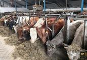 byczki, odsadki, opasy mięsne 250kg