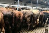 byczki , odsadki, opasy mięsne 250kg 1
