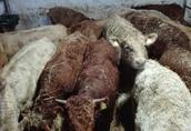 byczki , odsadki, opasy mięsne 250kg 4