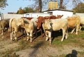 Byczki, mięsne opasy odsadki krzyżówki